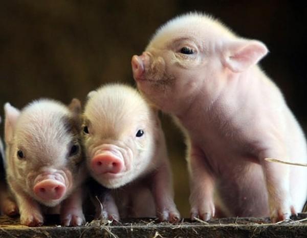 Giá heo hơi hôm nay 16/11: Giá lợn hơi mới nhất 30.500 đồng/kg