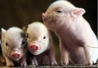 Dự báo giá heo hơi hôm nay 16/11: Giá lợn hơi mới nhất 30.500 đồng/kg