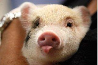 Dự báo giá heo hơi hôm nay 18/11: Giá lợn hơi mới nhất cầm chừng 29.000 đồng/kg