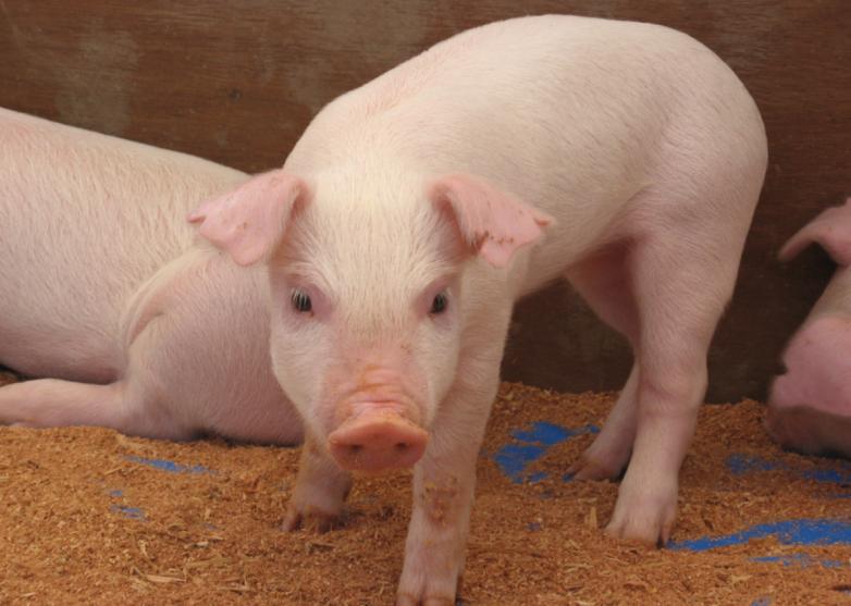 Giá heo hơi hôm nay 19/11: Giá lợn hơi mới nhất 28.000 đồng/kg