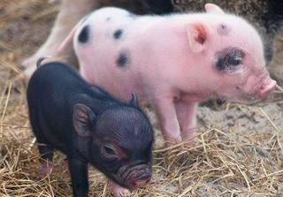 Dự báo giá heo hơi hôm nay 20/11: Giá heo (lợn) hơi mới nhất dưới 30.000 đồng/kg