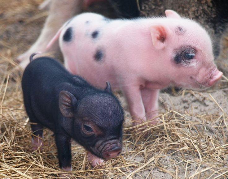 Dự báo giá heo hơi hôm nay 20/11: Giá lợn hơi mới nhất dưới 30.000 đồng/kg