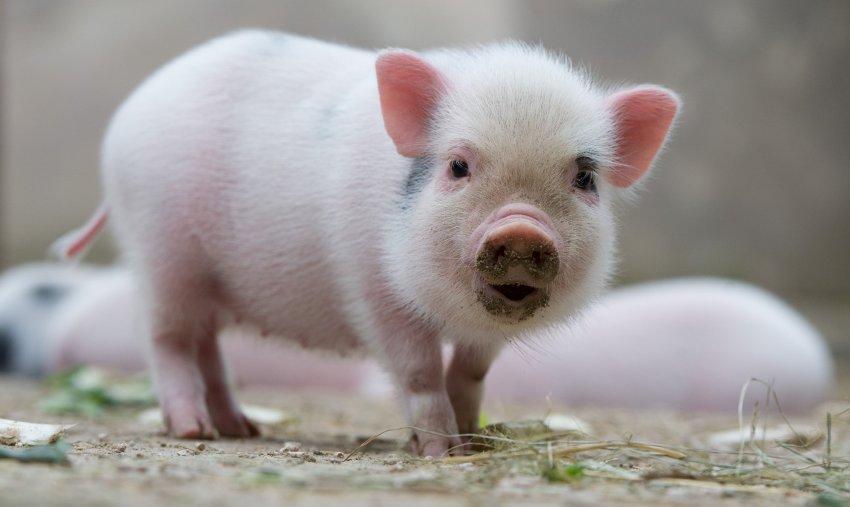 Dự báo giá heo hơi hôm nay 21/11: Giá lợn hơi mới nhất ở miền Nam 29.500 đồng/kg