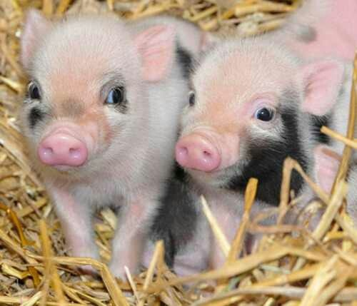 Dự báo giá heo hơi hôm nay 22/11: Giá lợn hơi mới nhất đi biên cao nhất 30.500 đồng