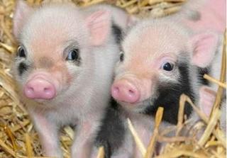 Dự báo giá heo hơi hôm nay 22/11: Giá heo (lợn) hơi mới nhất đi biên 30.500 đồng/kg