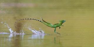 Những loài vật có thể di chuyển trên nước khiến giới khoa học kinh ngạc