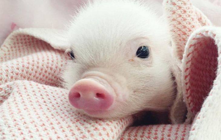 Dự báo giá heo hơi hôm nay 23/11: Giá lợn hơi mới nhất quanh mức 30.000 đồng/kg