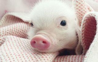 Dự báo giá heo hơi hôm nay 23/11: Giá heo (lợn) hơi mới nhất quanh mức 30.000 đồng/kg