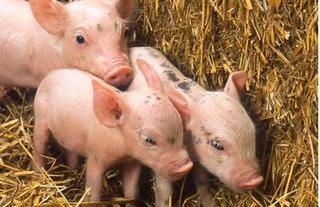 Dự báo giá heo hơi hôm nay 25/11: Giá lợn hơi mới nhất ở Hà Nội dưới 30.000 đồng/kg