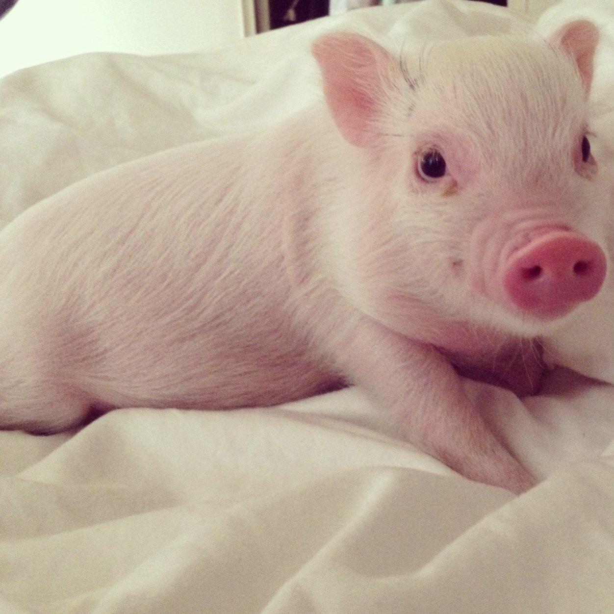 Dự báo giá heo hơi hôm nay 26/11: Giá lợn hơi mới nhất lên 31.000 đồng/kg