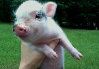 Dự báo giá heo hơi hôm nay 28/11: Giá heo (lợn) hơi mới nhất chỉ 26.000 đồng/kg