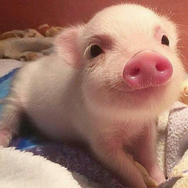 Dự báo giá heo hơi hôm nay 29/11: Giá lợn hơi mới nhất 31.000 đồng/kg