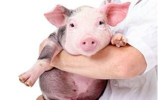 Dự báo giá heo hơi hôm nay 30/11: Giá heo (lợn) hơi mới nhất khó tăng dịp Tết