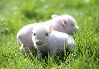 Dự báo giá heo hơi hôm nay 1/12: Giá heo (lợn) hơi mới nhất đi biên 31.000 đồng/kg