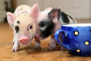 Dự báo giá heo hơi hôm nay 2/12: Giá lợn hơi mới nhất tăng ở miền Bắc