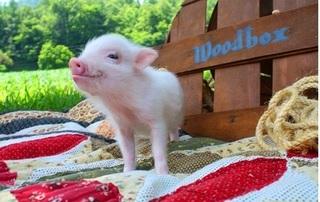 Dự báo giá heo hơi hôm nay 4/12: Giá heo (lợn) hơi mới nhất 29.000 đồng