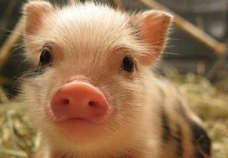 Dự báo giá heo hơi hôm nay 5/12: Giá lợn hơi mới nhất 31.000 đồng/kg