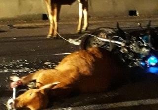 Hy hữu: 2 con bò cái gây tai nạn, công an truy tìm chủ sở hữu