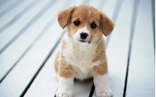 Nghệ An: Chó thả rông sẽ bị bắt, người nuôi chó phải đăng ký với UBND xã
