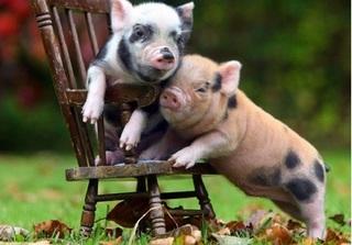 Dự báo giá heo hơi hôm nay 7/12: Giá heo (lợn) hơi mới nhất 29.000 đồng/kg