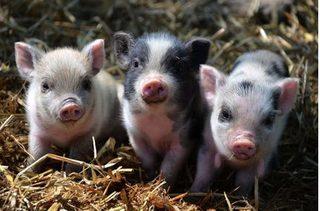 Dự báo giá heo hơi hôm nay 8/12: Giá heo (lợn) hơi mới nhất 32.000 đồng/kg