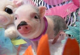Dự báo giá heo hơi hôm nay 9/12: Giá lợn hơi mới nhất 29.000 đồng/kg