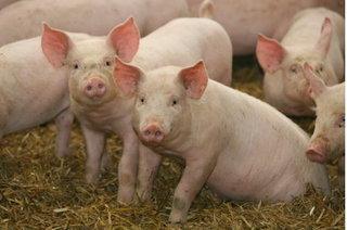 Dự báo giá heo hơi hôm nay 10/12: Giá lợn hơi mới nhất 30.000 đồng/kg