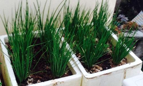 Hành là trồng trong thùng xốp đơn giản mà hiệu quả