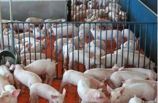 Dự báo giá heo hơi hôm nay 11/12: Giá lợn hơi mới nhất 31/000 đồng/kg