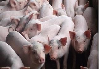 Dự báo giá heo hơi hôm nay 12/12: Giá lợn hơi mới nhất 30.000 đồng/kg