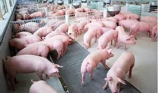 Dự báo giá heo hơi hôm nay 13/12: Giá lợn hơi mới nhất 32.000 đồng/kg