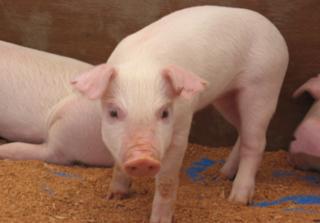 Dự báo giá heo hơi hôm nay 15/12: Giá lợn hơi mới nhất 30.000 đồng/kg