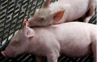 Dự báo giá heo hơi hôm nay 18/12: Giá lợn hơi mới nhất 30.500 đồng/kg