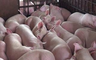Dự báo giá heo hơi hôm nay 19/12: Giá lợn hơi mới nhất 34.000 đồng/kg