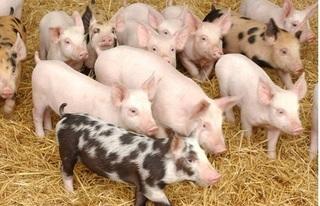 Dự báo giá heo hơi hôm nay 21/12: Giá lợn hơi mới nhất 35.000 đồng/kg