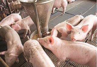 Dự báo giá heo hơi hôm nay 22/12: Giá lợn hơi mới nhất 33.000 đồng/kg