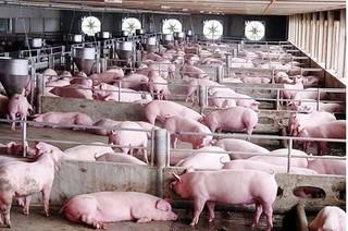 Dự báo giá heo hơi hôm nay 23/12: Giá lợn hơi mới nhất 34.000 đồng/kg