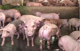Dự báo giá heo hơi hôm nay 25/12: Giá lợn hơi mới nhất 36.000 đồng/kg