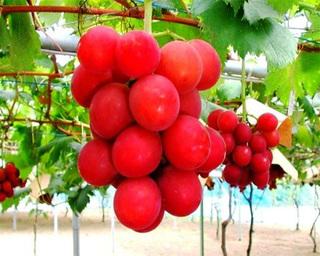4 loại trái cây siêu đắt chỉ giới đại gia mới dám dùng