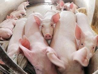 Giá lợn hơi tại Hà Nội hôm nay: Phổ biến từ 30.000-35.000đ