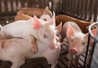 Giá lợn (heo) hơi ngày hôm nay: Miền Bắc cao nhất 36.000 đồng