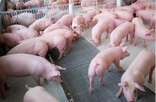 Dự báo giá heo hơi hôm nay 27/12: Giá lợn hơi mới nhất 33.000 đồng/kg