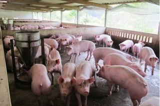 Dự báo giá heo hơi hôm nay 28/12: Giá lợn hơi mới nhất 35.000 đồng/kg