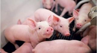 Dự báo giá heo hơi hôm nay 29/12: Giá lợn hơi mới nhất 50.000 đồng/kg
