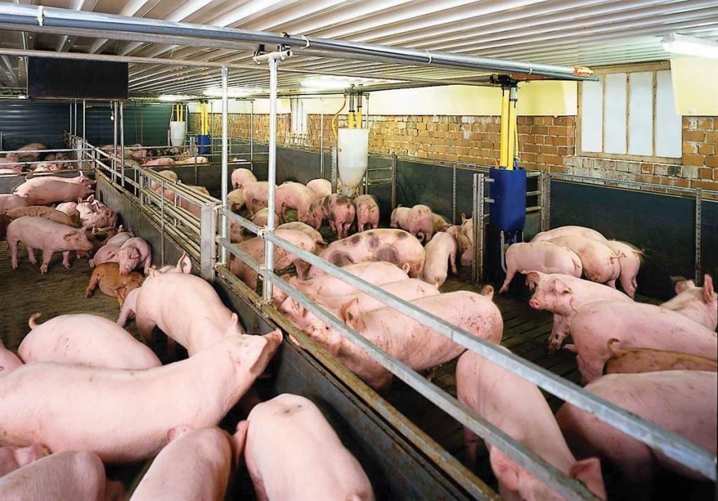 Dự báo giá heo hơi hôm nay 30/12: Giá lợn hơi mới nhất 38.000 đồng/kg