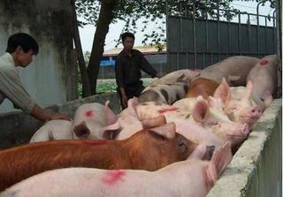 Dự báo giá heo hơi hôm nay 31/12: Giá lợn hơi mới nhất 36.000 đồng/kg
