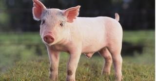 Dự báo giá heo hơi hôm nay 2/1/2018: Giá lợn hơi mới nhất 35.000 đồng