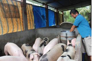 Dự báo giá heo hơi hôm nay 4/1: Giá lợn hơi mới nhất 36.000 đồng/kg