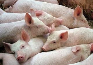 Dự báo giá heo hơi hôm nay 10/1: Giá lợn hơi mới nhất 36.000 đồng/kg
