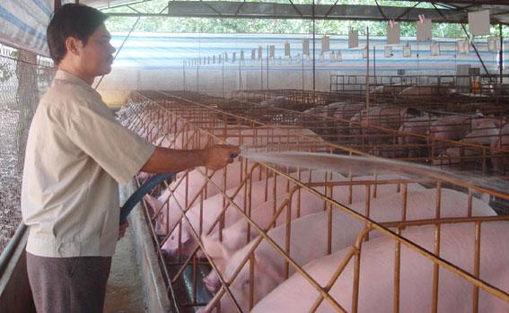 Dự báo giá heo hơi hôm nay 13/1: Giá lợn hơi mới nhất 35.000 đồng/kg